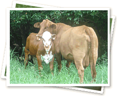 Weaner calf with mother