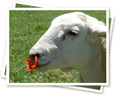 EasyWean sheep nosering for weaning lambs