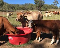Grazier workload reduced when weaning in the mob