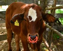 Manage your weaning for maximum benefit to cow and calf